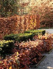 der herbst ist die zeit f r die pflege der hecke hecke hecke im herbst hecke pflanzen hecke. Black Bedroom Furniture Sets. Home Design Ideas